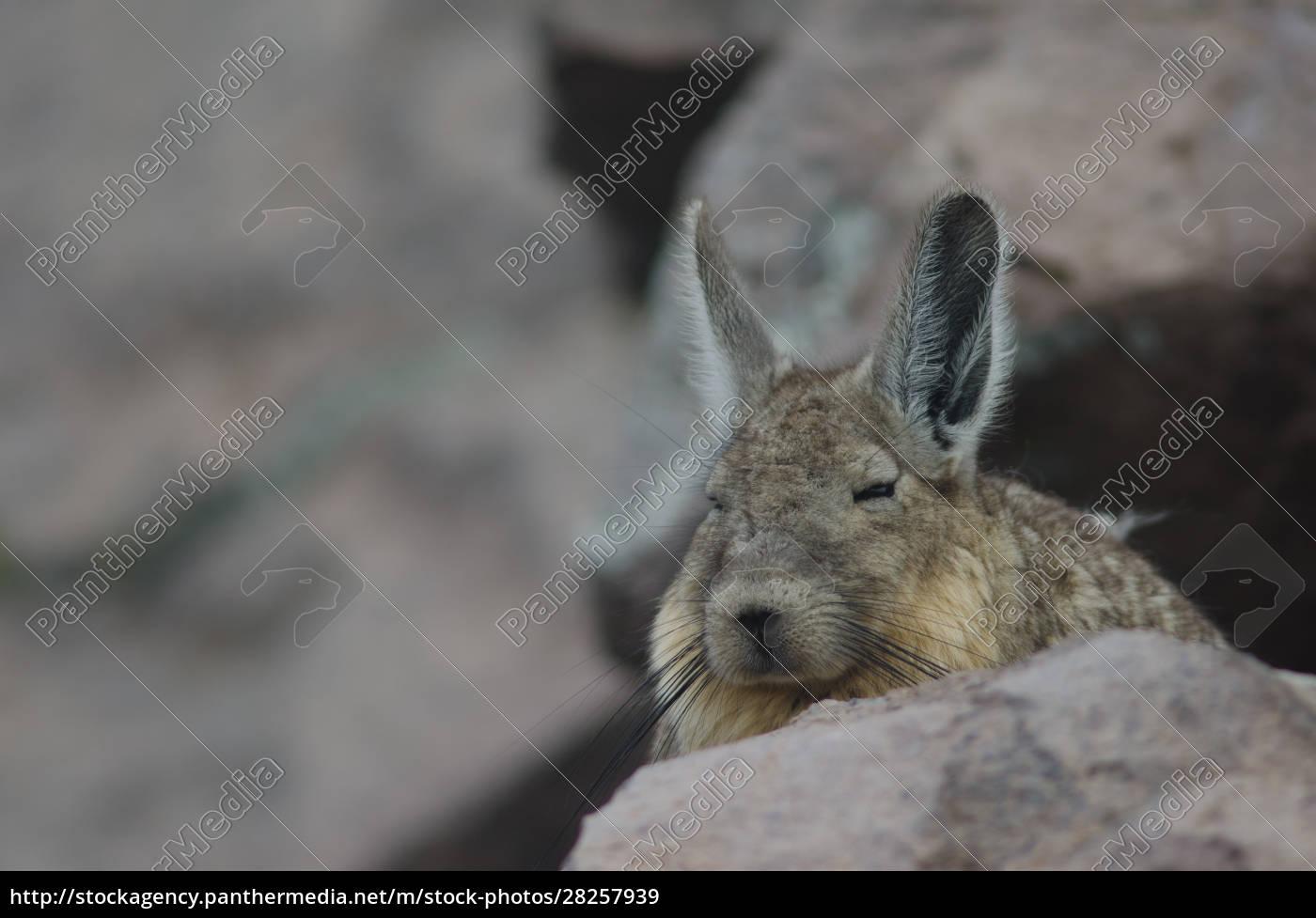 southern, viscacha, lagidium, viscacia, resting, in - 28257939