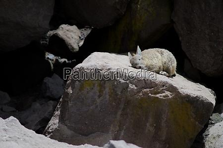 southern, viscacha, lagidium, viscacia, sunbathing, on - 28257873
