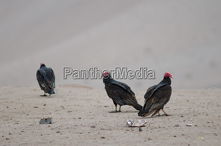 turkey, vultures, cathartes, aura, in, the - 28257580