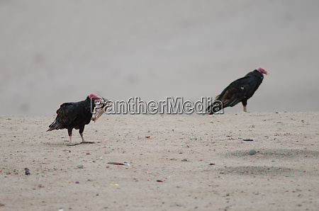 turkey, vultures, cathartes, aura, in, the - 28257700