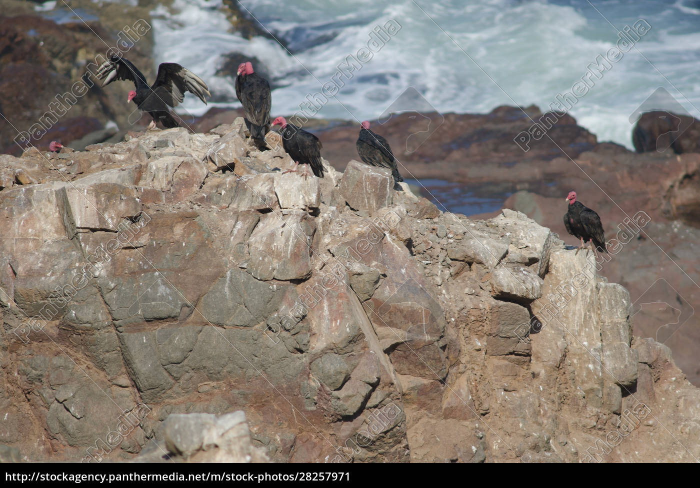 turkey, vultures, cathartes, aura, on, a - 28257971