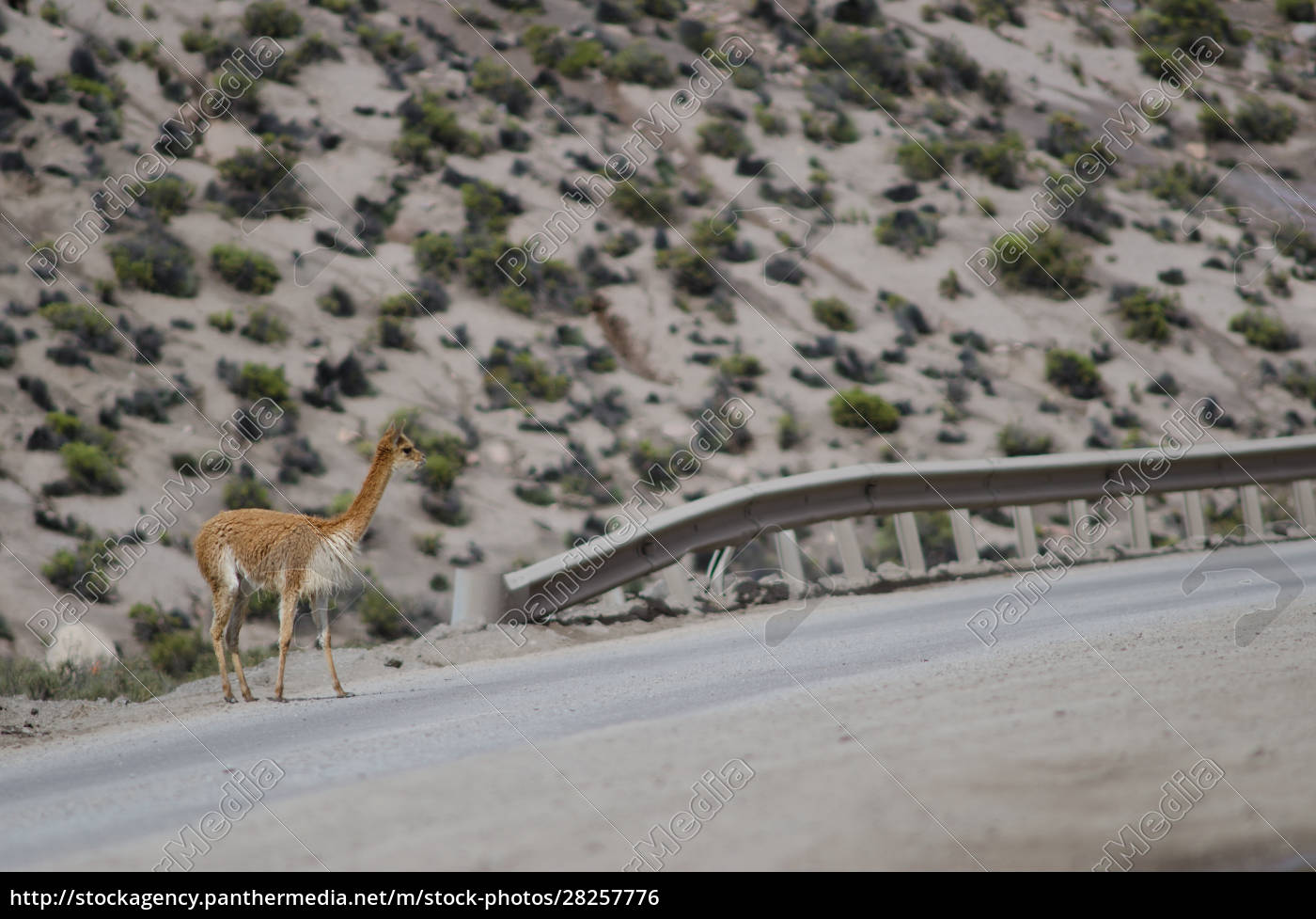 vicuna, vicugna, vicugna, waiting, to, cross - 28257776
