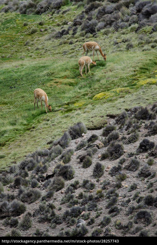 vicunas, vicugna, vicugna, grazing, in, a - 28257743