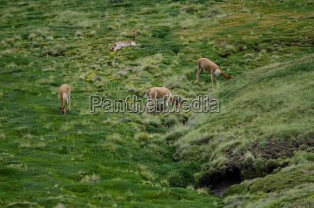 vicunas, vicugna, vicugna, grazing, in, a - 28257755