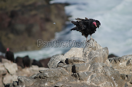 turkey vulture cathartes aura shaking its