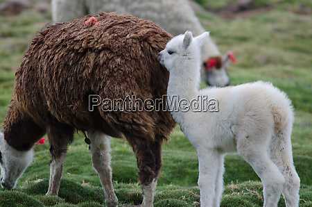baby alpaca vicugna pacos with her