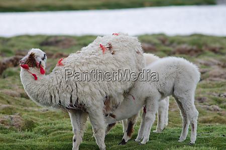 baby alpaca vicugna pacos suckling from