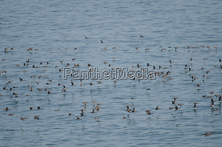 guanay cormorants in flight over the