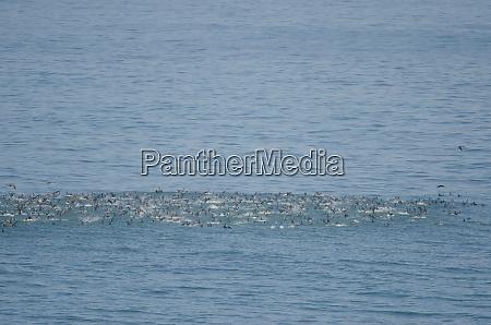flock of guanay cormorants leucocarbo bougainvillii