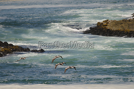 peruvian pelicans in flight over the