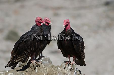 turkey vulture cathartes aura on a