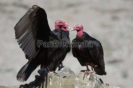 turkey vulture cathartes aura on a