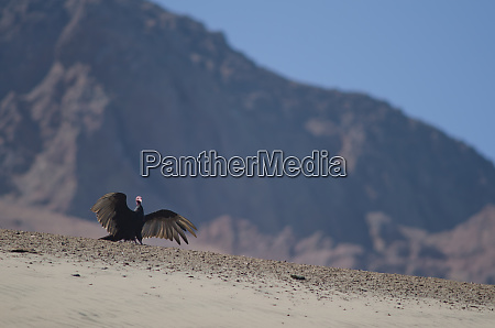 turkey vulture cathartes aura stretching its