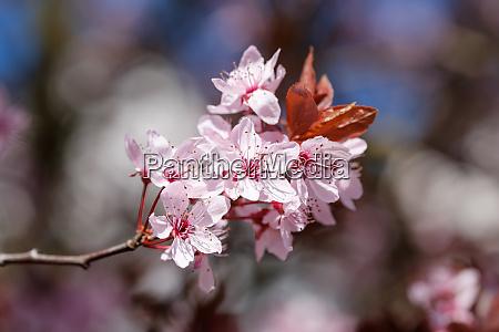 pink flower blood cherry prunus cerasifera