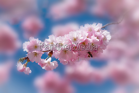 pink cherry blossom with honeybee in