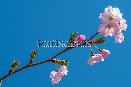 pink cherry flower in spring
