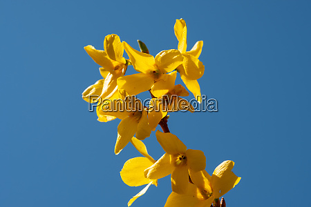 yellow forsithia blossom and blue sky
