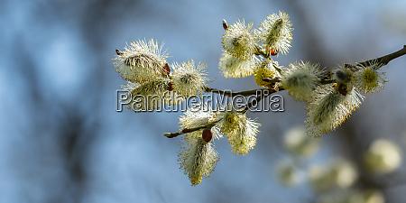 willow catkin blossom salix twig