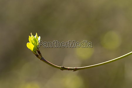 twig with bud and foliage of