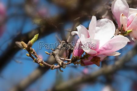 white pink magnolia blossom