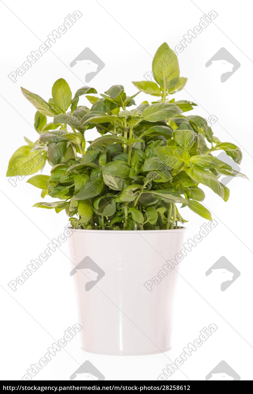 basilikum, (ocimum, basilicum), as, green, pot - 28258612