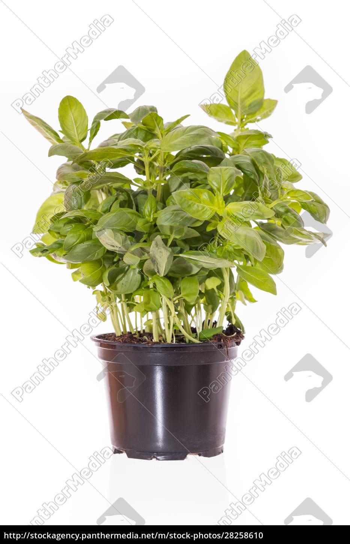basilikum, (ocimum, basilicum), green, herb, in - 28258610