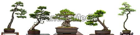 bonsai, bäume, nadelbäume, aus, japan - 28258308