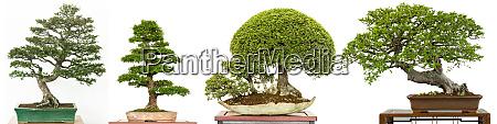 bonsai, baum, als, ulme, aus, china - 28258311