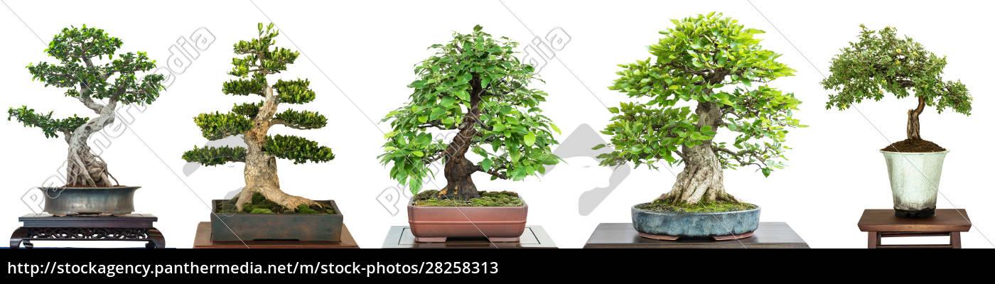 bonsai, laubbäume, auf, einer, ausstellung, im - 28258313