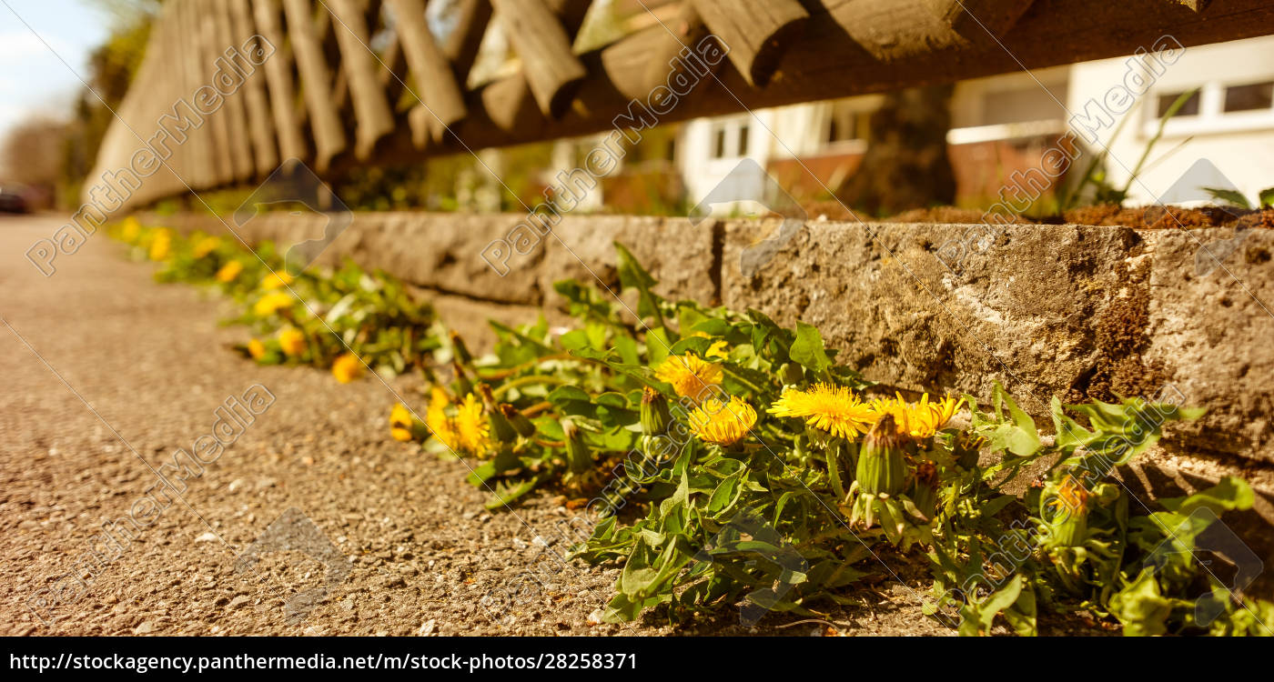 dandelion, with, yellow, flower, at, a - 28258371