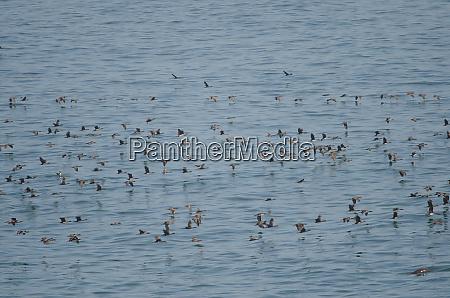 guanay, cormorants, in, flight, over, the - 28258143