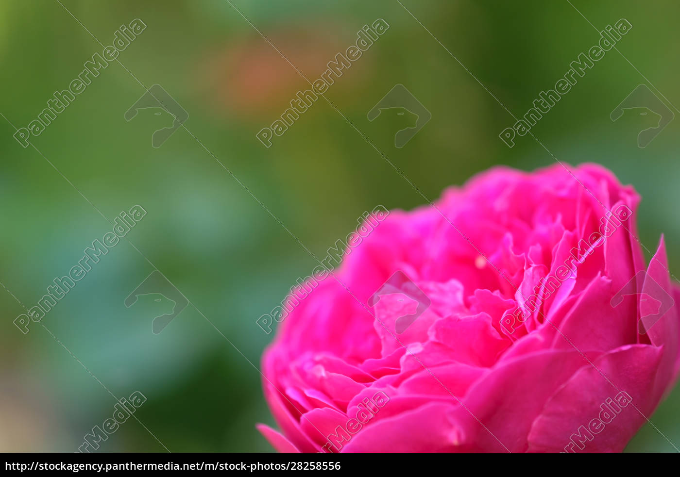 magenta, rose, blossom, with, blur - 28258556