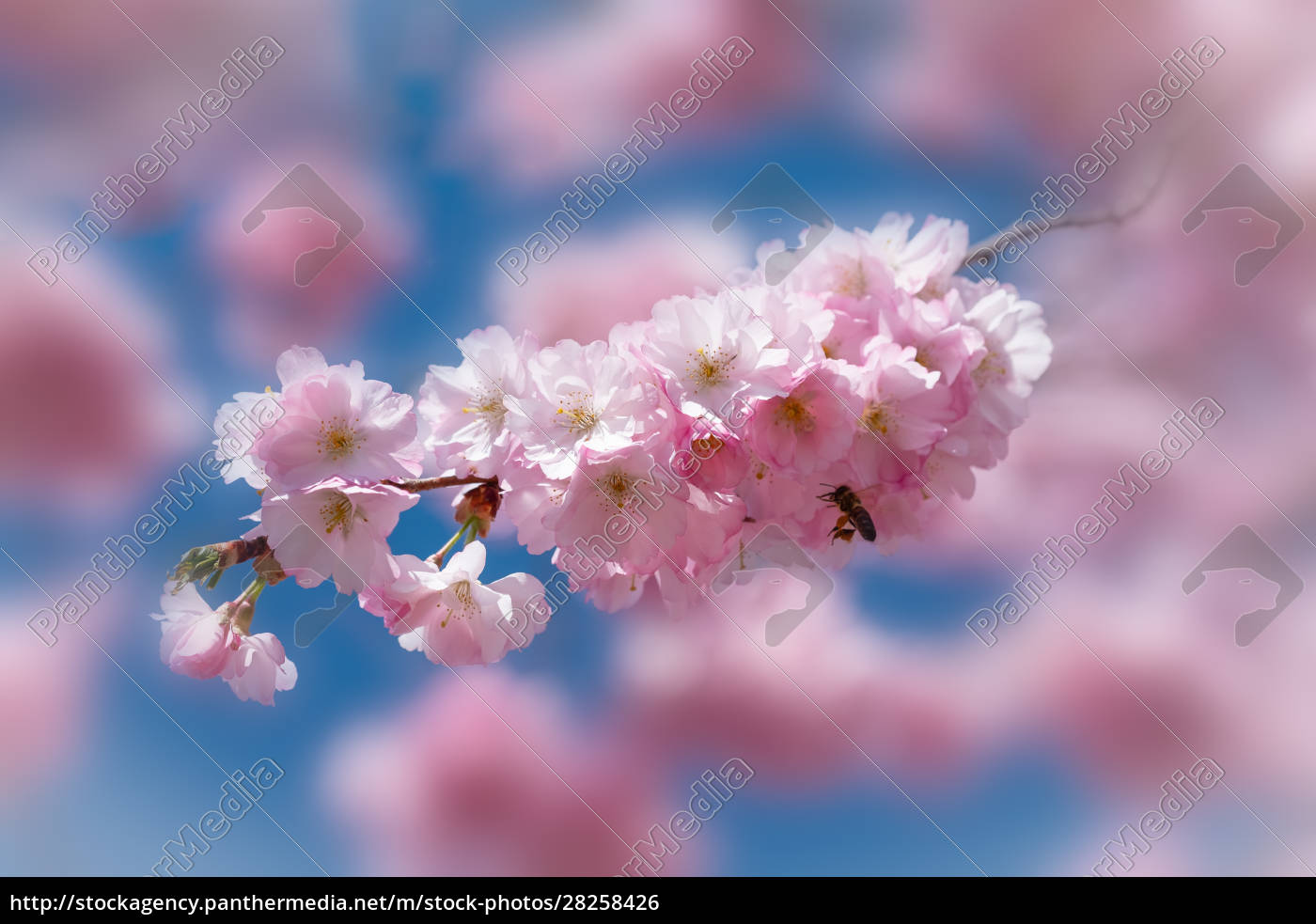 pink, cherry, blossom, with, honeybee, in - 28258426