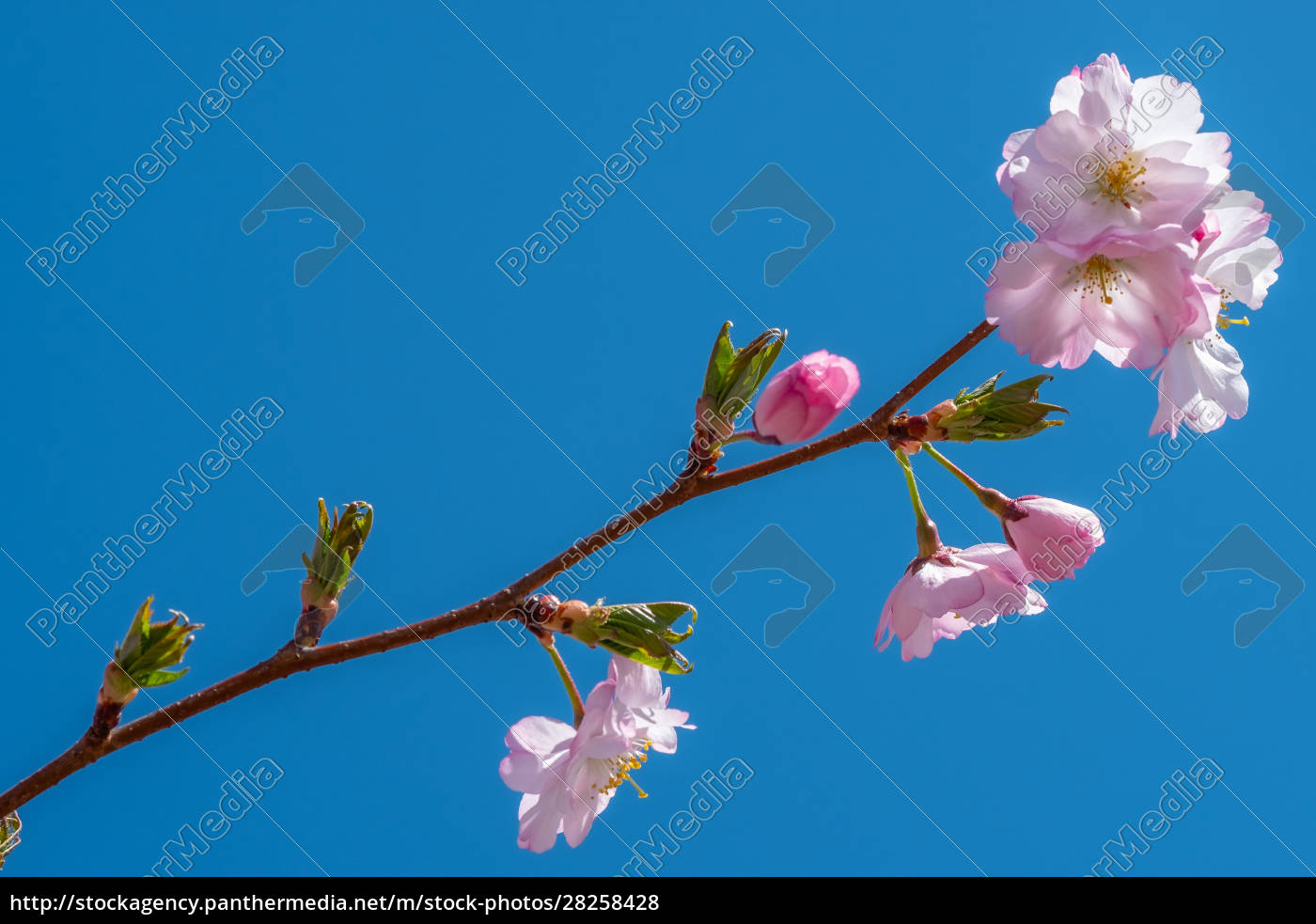 pink, cherry, flower, in, spring - 28258428