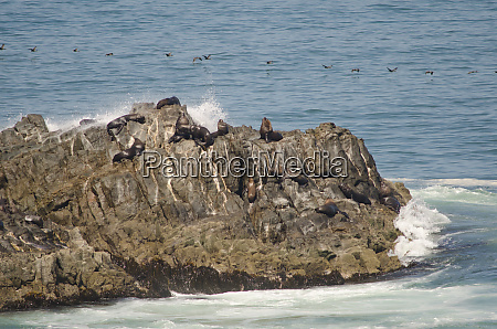 south, american, sea, lions, and, guanay - 28258101