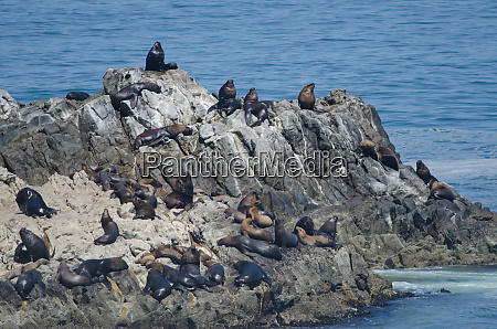 south, american, sea, lions, on, a - 28258119