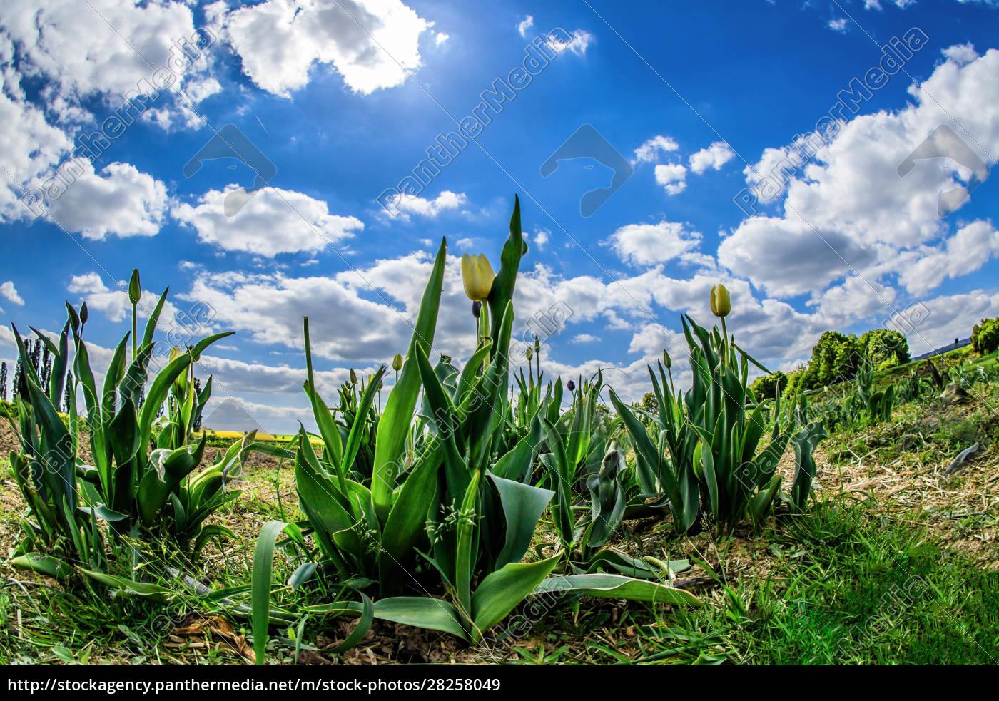 tulip, field, in, springtime - 28258049