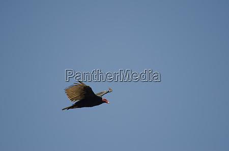 turkey, vulture, cathartes, aura, in, flight - 28258190