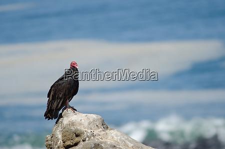 turkey, vulture, cathartes, aura, on, a - 28258117