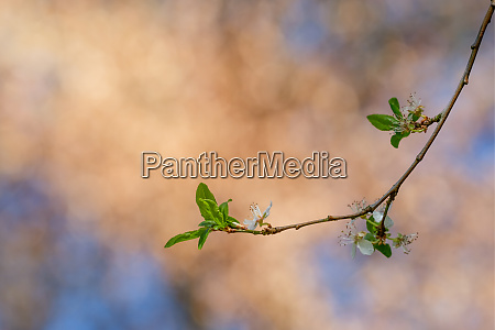 twig, with, white, blossom, and, green - 28258503