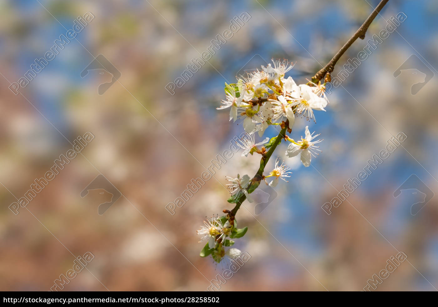 twig, with, white, flowers, in, spring - 28258502