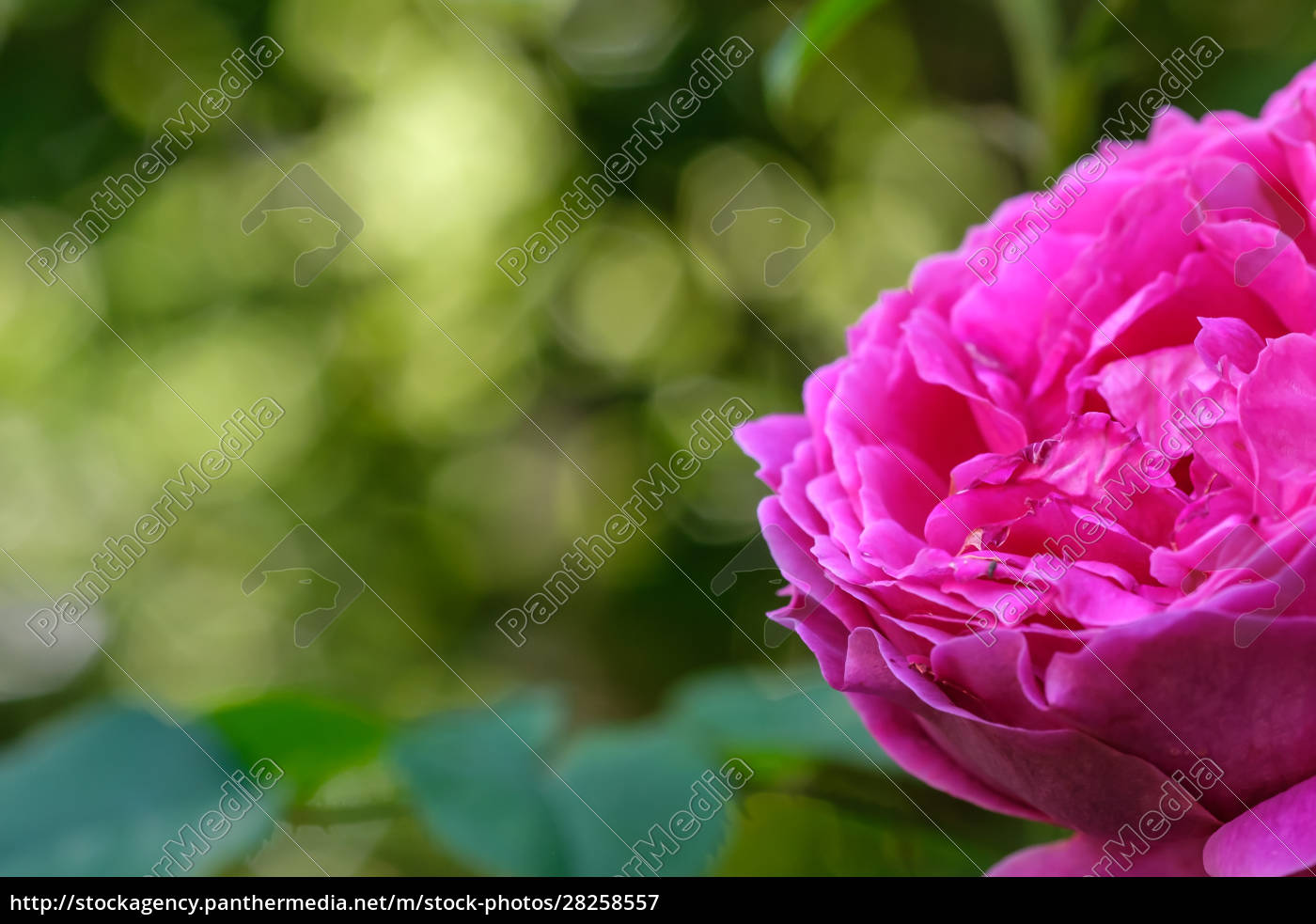 violet, rose, flower, in, front, of - 28258557