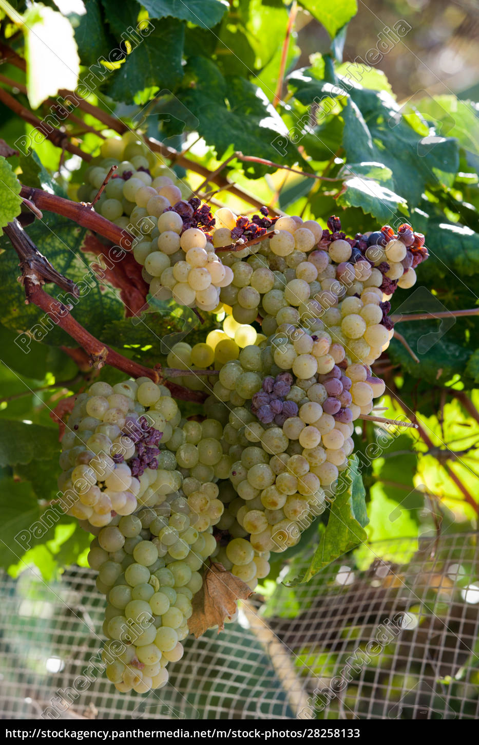 white, grapes, in, the, vineyard, - 28258133