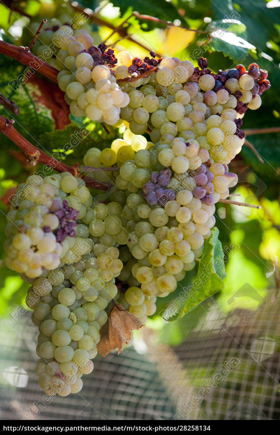 white, grapes, in, the, vineyard, - 28258134
