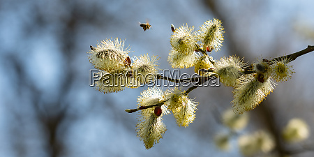 willow, catkin, blossom, (salix), with, flying - 28258453