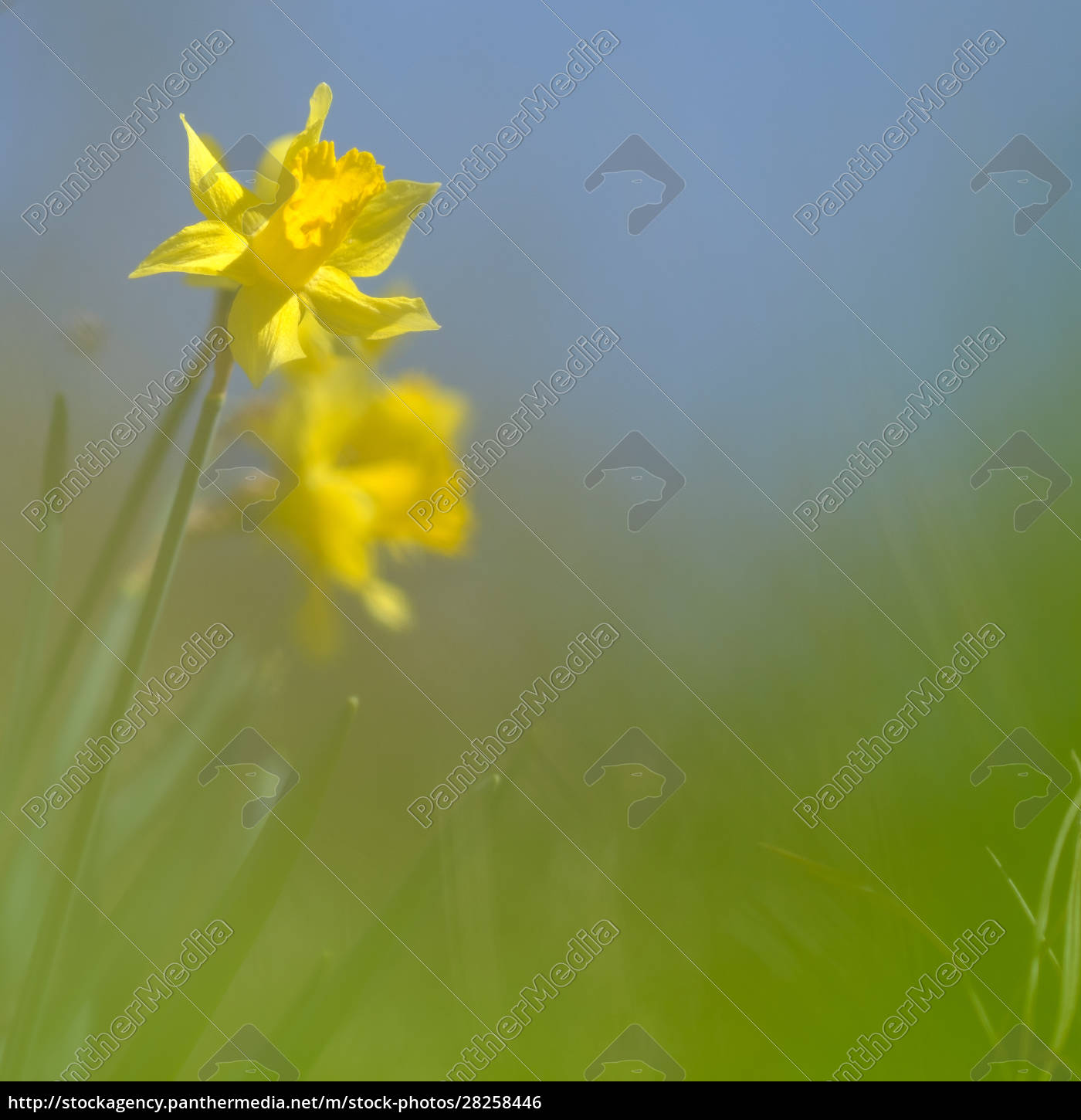 yellow, daffodil, blossom, on, a, meadow - 28258446