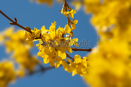 yellow, forsithia, flower - 28258429