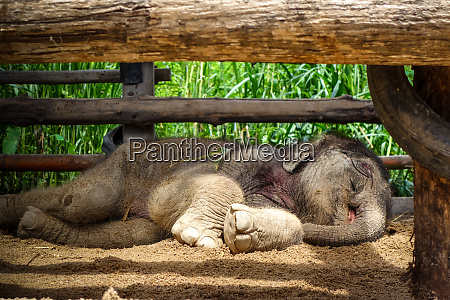 baby, elephant, in, protected, park, , chiang - 28259757