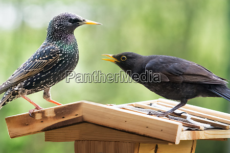 fight, between, blackbird, and, starling, on - 28259259