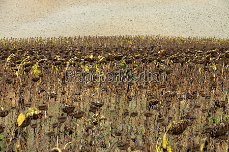 ripened, sunflowers, ready, for, harvesting, for - 28259573